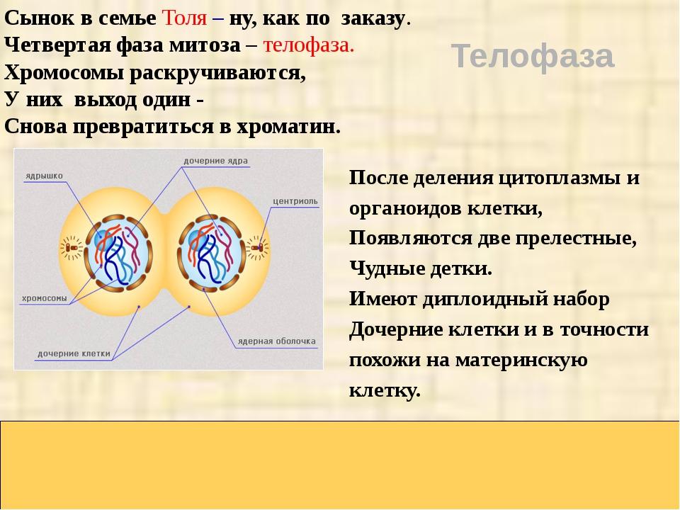 Сынок в семье Толя – ну, как по заказу. Четвертая фаза митоза – телофаза. Хр...