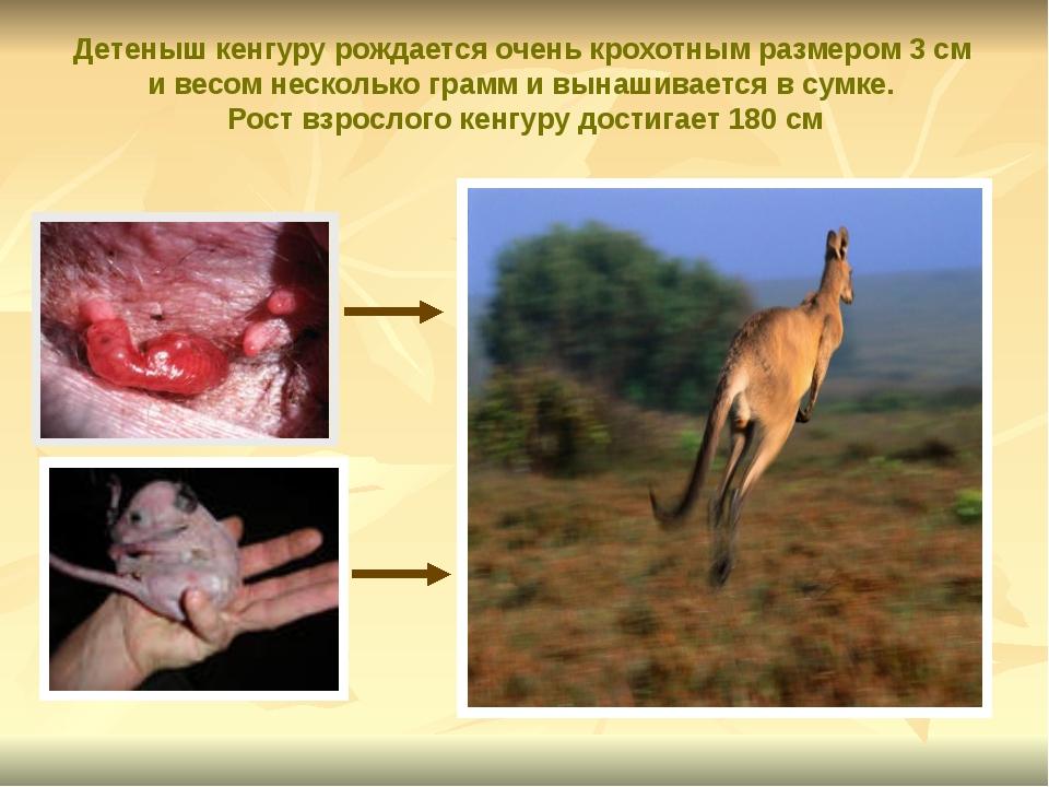 Детеныш кенгуру рождается очень крохотным размером 3 см и весом несколько гр...