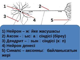 1) Нейрон – жүйке жасушасы 2) Аксон - қысқа өсіндісі (біреу) 3) Дендрит – ұз
