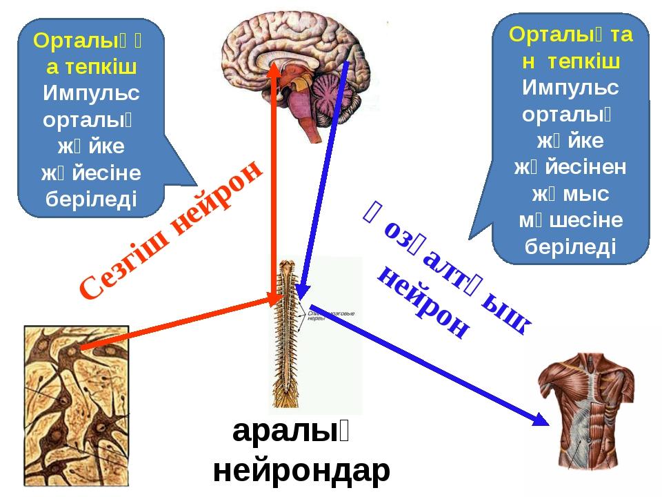 Сезгіш нейрон Қозғалтқыш нейрон Орталыққа тепкіш Импульс орталық жүйке жүйесі...