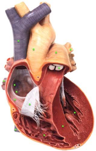 F:\Открытый урок по биологии по теме _Строение сердца_ с использованием инновационных технологий_files\01.jpg
