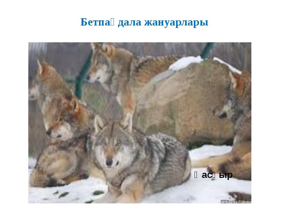 Бетпақдала жануарлары Қасқыр