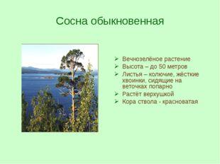 Сосна обыкновенная Вечнозелёное растение Высота – до 50 метров Листья – колюч