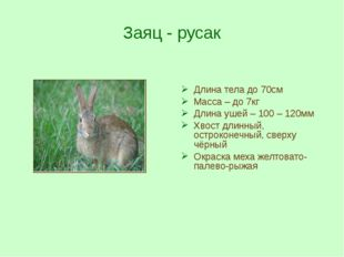 Заяц - русак Длина тела до 70см Масса – до 7кг Длина ушей – 100 – 120мм Хвост