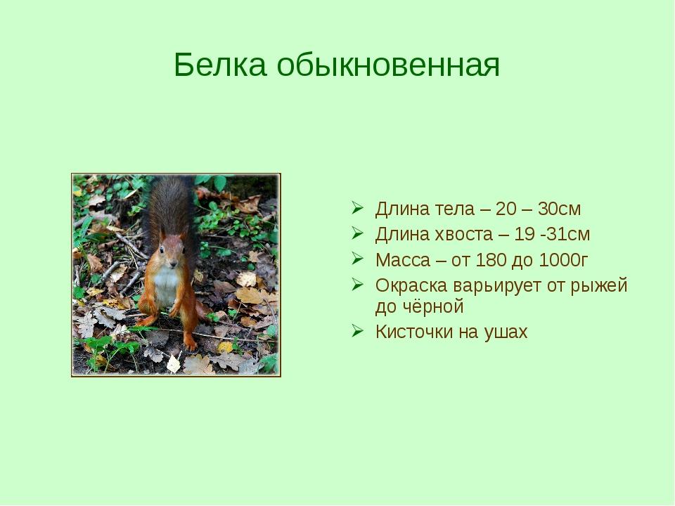 Белка обыкновенная Длина тела – 20 – 30см Длина хвоста – 19 -31см Масса – от...