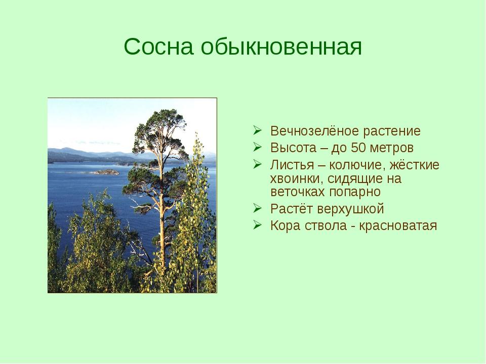 Сосна обыкновенная Вечнозелёное растение Высота – до 50 метров Листья – колюч...
