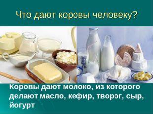 Что дают коровы человеку? Коровы дают молоко, из которого делают масло, кефир