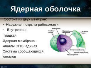 Ядерная оболочка Состоит из двух мембран: Наружная покрыта рибосомами Внутрен