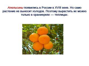 Апельсины появились в России в XVIII веке. Но само растение не выносит холодо
