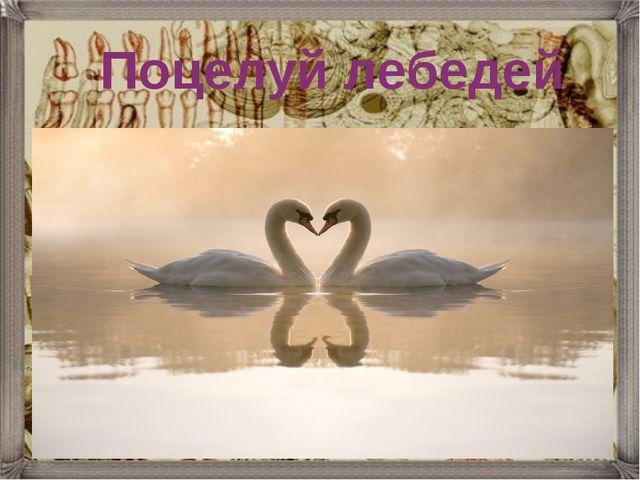 Поцелуй лебедей