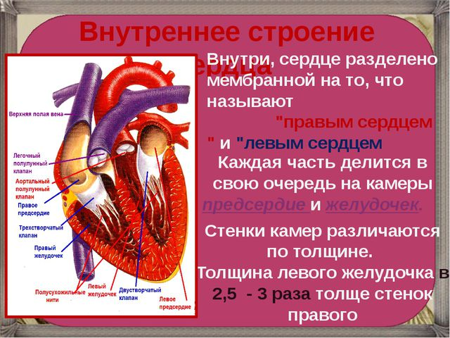Внутреннее строение сердца Внутри, сердце разделено мембранной на то, что н...