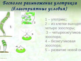 Бесполое размножение улотрикса (благоприятные условия) 1 – улотрикс; 2 – из