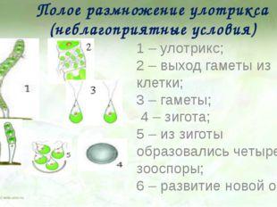 Полое размножение улотрикса (неблагоприятные условия) 1 – улотрикс; 2 – выход