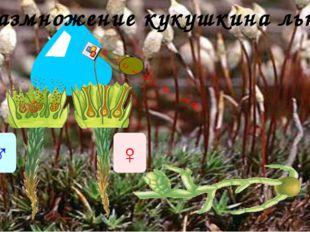 Размножение кукушкина льна ♂ ♀ Размножение мхов происходит при помощи спор. С
