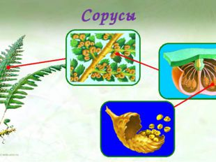 Сорусы На нижней стороне листе папоротника развиваются сорусы. Сорусы выглядя