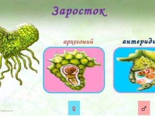 Заросток архегоний антеридий ♀ ♂ Из прорастающей споры образуется заросток. Э