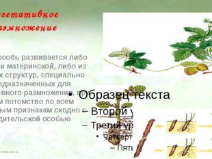 Вегетативное размножение Новая особь развивается либо из части материнской, л