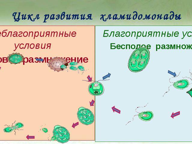 Цикл развития хламидомонады Неблагоприятные условия Половое размножение Благо...