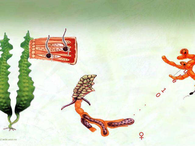 ♂ ♀ Ламинария размножается зооспорами. Ты уже знаешь, что это такое. Зооспор...