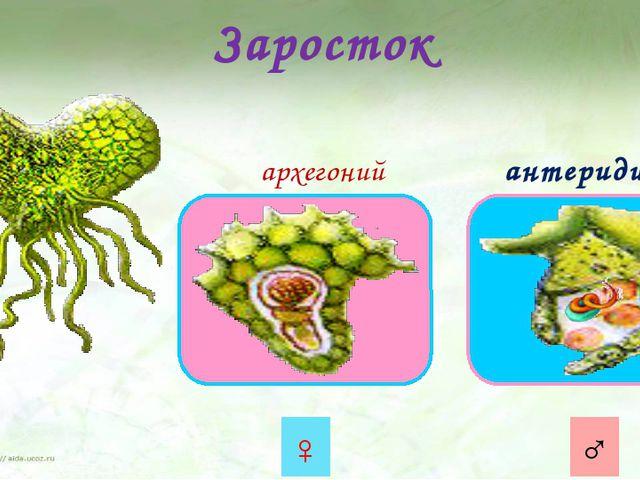 Заросток архегоний антеридий ♀ ♂ Из прорастающей споры образуется заросток. Э...