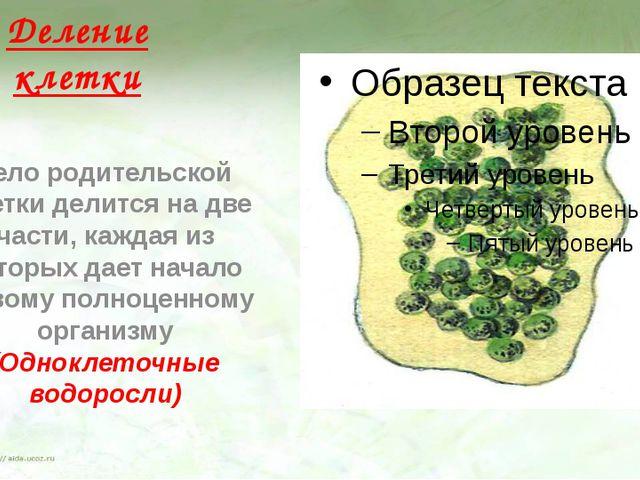 Деление клетки Тело родительской клетки делится на две части, каждая из котор...