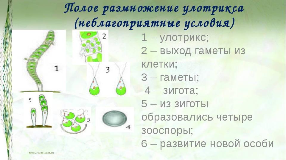 Полое размножение улотрикса (неблагоприятные условия) 1 – улотрикс; 2 – выход...