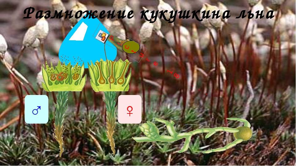Размножение кукушкина льна ♂ ♀ Размножение мхов происходит при помощи спор. С...