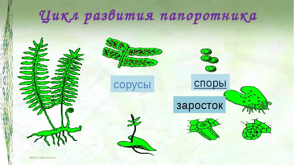 Цикл развития папоротника сорусы споры заросток А как же размножается папорот...