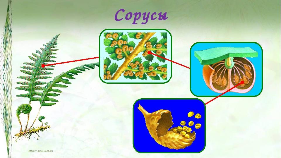 Сорусы На нижней стороне листе папоротника развиваются сорусы. Сорусы выглядя...