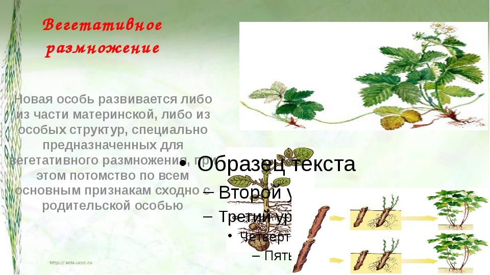 Вегетативное размножение Новая особь развивается либо из части материнской, л...