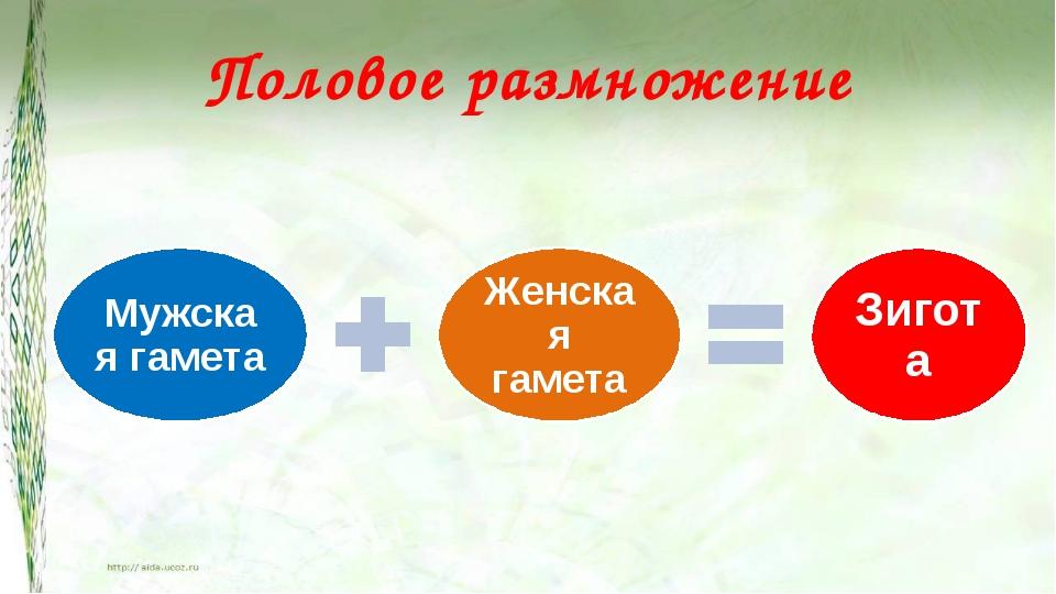 Половое размножение Половое размножение – это развитие новой особи, как прави...