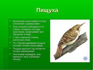 Пищуха Маленькая коричневая птичка, спокойная и доверчивая. Она спокойно взби