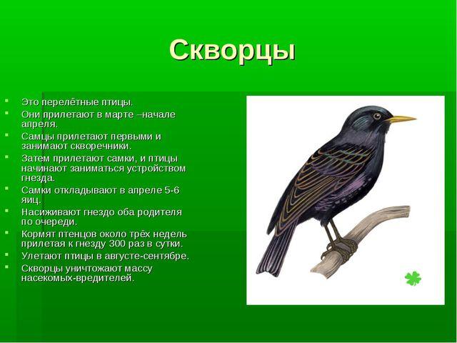 Скворцы Это перелётные птицы. Они прилетают в марте –начале апреля. Самцы при...