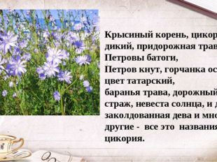 Крысиный корень, цикорий дикий, придорожная трава, Петровы батоги, Петров кну