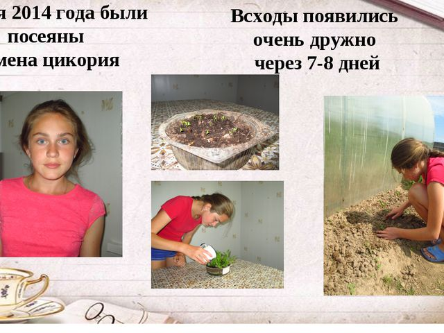 2 июня 2014 года были посеяны семена цикория Всходы появились очень дружно че...