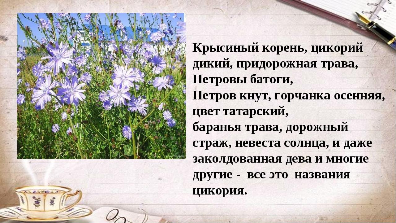 Крысиный корень, цикорий дикий, придорожная трава, Петровы батоги, Петров кну...