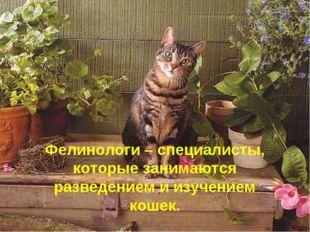 Фелинологи – специалисты, которые занимаются разведением и изучением кошек.