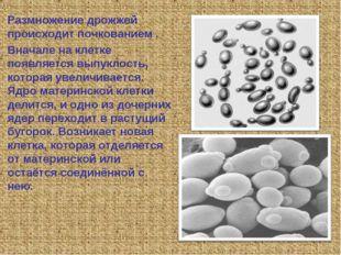 Размножение дрожжей происходит почкованием . Вначале на клетке появляется вып