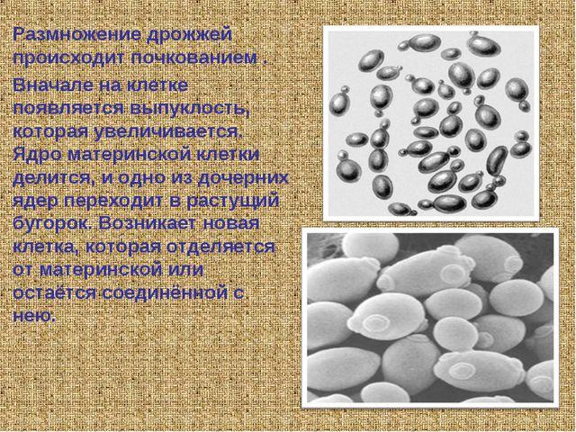 Размножение дрожжей происходит почкованием . Вначале на клетке появляется вып...