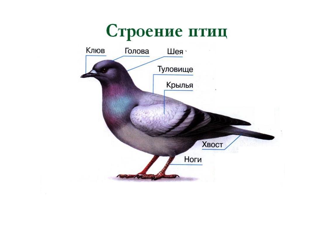 Строение птиц для детей картинки
