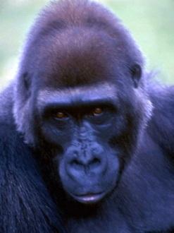 Шимпанз