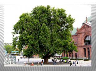 ЧИНАРА – дерево семейства платановых