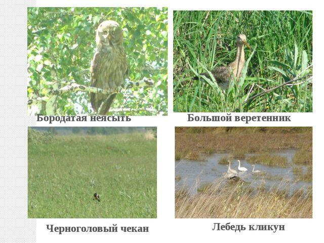 Бородатая неясыть Большой веретенник Черноголовый чекан Лебедь кликун