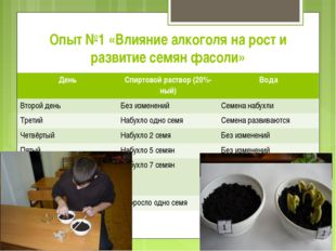 Опыт №1 «Влияние алкоголя на рост и развитие семян фасоли» ДеньСпиртовой рас