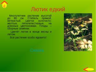 Лютик едкий Многолетнее растение высотой до 80 см. Стебель прямой, ветвистый.