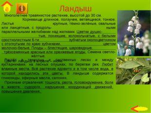 Ландыш Многолетнее травянистое растение, высотой до 30 см. Корневище длинное,