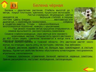 Белена чёрная Белена – двухлетнее растение. Стебель высотой до 1 метра, покры