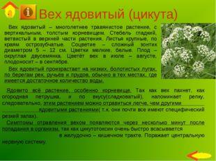 Вех ядовитый (цикута) Вех ядовитый – многолетнее травянистое растение, с верт