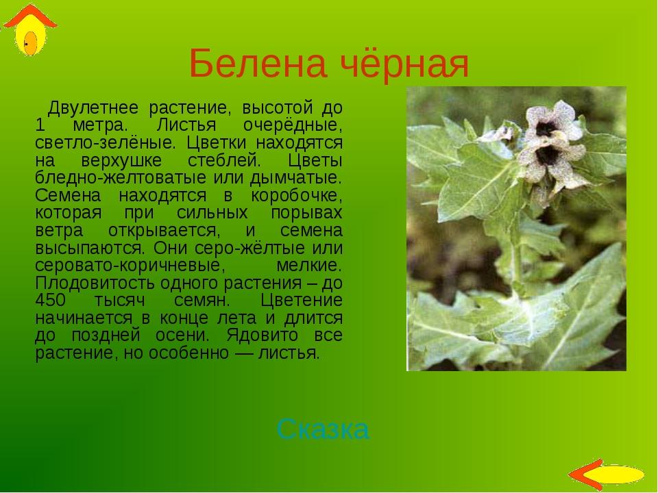 Белена чёрная Двулетнее растение, высотой до 1 метра. Листья очерёдные, светл...