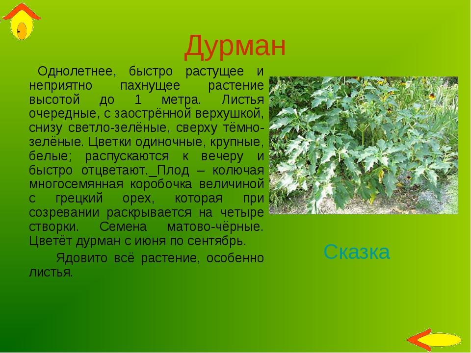 Дурман Однолетнее, быстро растущее и неприятно пахнущее растение высотой до 1...